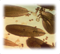 Monarch scales with OE spores
