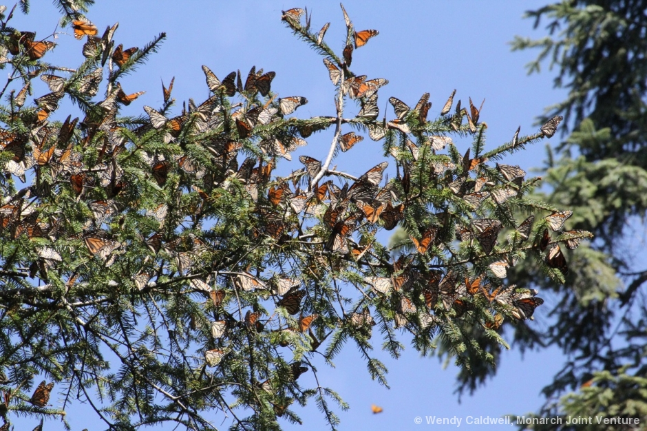 Last Monarch Of Season >> Eastern Monarch Population Numbers Increase 144 From Last Year