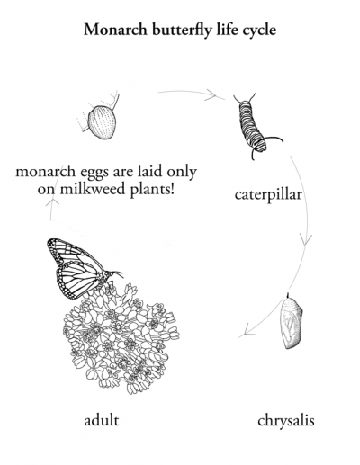 Monarch life cycle coloring page